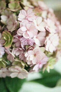 Hydrangea- natural beauty- colour inspiration- by Emily Quinton Photography Hortensia Hydrangea, Hydrangea Garden, Hydrangea Flower, My Flower, Flower Power, Hydrangeas, Flowers For You, Flowers Nature, Fresh Flowers