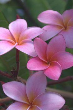 Pink Frangipani Flowers.-Adam Layne