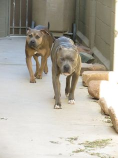 Sabre and Sly. 1 year. #apbt #amstaff #blue #brindle dilute #sable #pitbull #thunderfoot