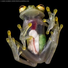 Frans de Waal - Public Page GLASS FROG Jaime Culebras offers a spectacular photograph of a gravid female Reticulated Glass Frog. The belly is completely transparent, so all the internal organs are visible. The liver, heart and digestive organs are covered by a white lining. www.thenighttour.com/alien1/hyalinobatrachium_valerioi.htm