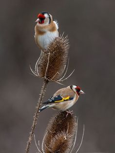 European Goldfinch on dry thistle. Cute Birds, Pretty Birds, Small Birds, Little Birds, Colorful Birds, Beautiful Birds, Animals Beautiful, Especie Animal, Mundo Animal