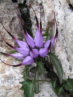 Physoplexis comosa (tufted horned rampion) is a species of flowering plant in the family Campanulaceae, native to alpine Europe. It is the only species in its genus.