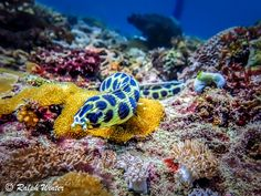 Spotted Snake Eel. A non venomous snake eel makes his way quietly along the ocean floor in search of crabs and shrimps to eat. Easily distinguished as a fish as opposed to a snake as one can clearly see pectoral and collapsed dorsal fins, by DianiRalph