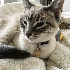 Excellent Beautiful cats detail are offered on our site. Read more and you wont be sorry you did. Kittens Cutest, Cats And Kittens, Cute Cats, Funny Cats, Pretty Cats, Beautiful Cats, Animals Beautiful, Animals And Pets, Cute Animals
