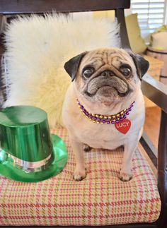 Lucy my pug..sporting her fine Mardi Gras style. She's only holding still for the shot because I'm holding a chicken jerky treat. Works every time!