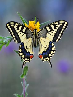 The Old World Swallowtail (Papilio machaon) is a butterfly of the family Papilionidae.