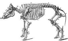 Skeleton of a Hog