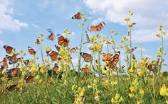 Attracting Butterflies to Your Garden -- choose the right plants & flowers to fill your garden with butterflies Butterfly Park, Dig Gardens, Outdoor Flowers, May Flowers, Planting Flowers, Flower Gardening, Summer 2014, Flourish, Garden Plants