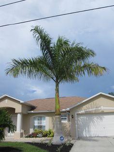 Cuban Royal palm tree (Roystonea elata)