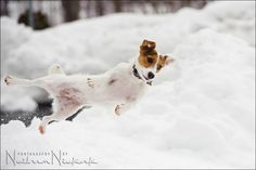 dashing through the snow! got to love jack russell terriers !