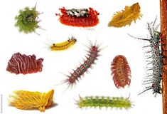 """Compilation of the spiny, bright & venomous caterpillars of Peru photographed in the field """"Meet Your Neighbors style"""". ~By Aaron Pomerantz"""