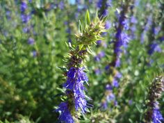 Hyssop - Health Benefits and Side Effects