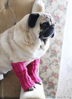 pug wearing leg warmers.