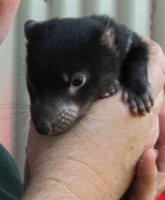 Tassie Devil = 3/10 on the snuggle scale.  They look cute, but...