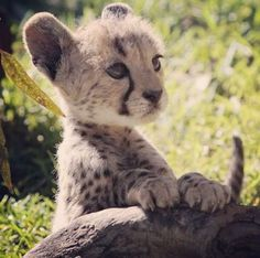 This is prolly the cutest animal ever! #cute #baby #cheetah