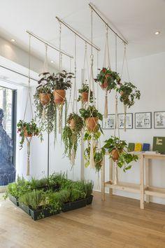 Cissus striata ou plante retombante facile d 39 entretien du for Chaine de coeur plante entretien