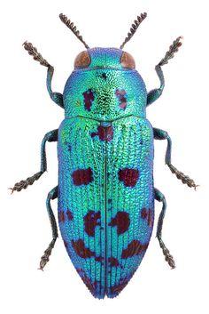Lamprodila festiva - Green jewel beetle