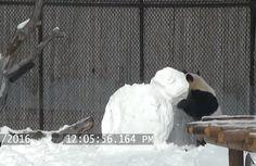 Panda gigante destrói boneco de neve no zoológico de Toronto - https://anoticiadodia.com/panda-gigante-destroi-boneco-de-neve-no-zoologico-de-toronto/
