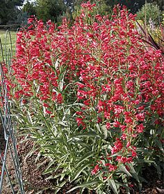 Penstemon, Red Riding Hood...........  Masses of bright red flowers on sturdy plants.	    lifecycle: Perennial     Zone: 5-8     Sun: Full Sun     Height: 30  inches    Spread: 24  inches    Uses: Beds, Borders, Container, Cut Flowers     Bloom Season: Spring, Summer