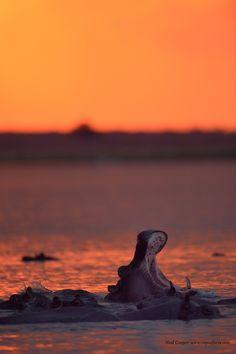 Hippos at Sunset in Botswana