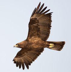 Wahlberg's Eagle - Kruger Park, South Africa