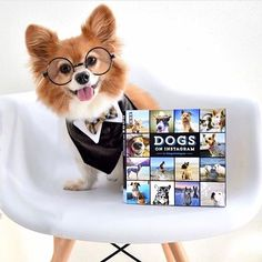 """""""I'm more of an intellectual"""" writes @busterthebombpom #dogsofinstagram #instafollow #instagood #cute #FF #dogs"""