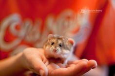 Dwarf Hamster.. Carmel