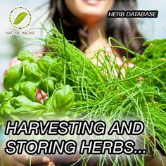 Harvesting and Storing Herbs * What to do with the leaves, stems, flowers and seeds