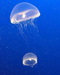 Magical Jelly's at the Monterey Bay Aquarium! Thank you to the men and women who have served our country, and currently serve our country, so we can enjoy it's beauty and freedoms. Let's love each other and the beautiful animals that fill our land and seas! 💙🇺🇸🐟🦈 #memorialday #montereybay #montereybayaquarium #jellyfish #visitcalifornia #grateful #montereybaylocals - posted by Doneice Woody https://www.instagram.com/doneice - See more of Monterey Bay at http://montereybaylocals.com