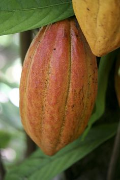 Les plus belles plantes tropicales: Theobroma cacao Cacao Fruit, Raw Cacao, Fruit Trees, Trees To Plant, Cash Crop, Cacao Beans, Theobroma Cacao, Unusual Plants, Decadent Chocolate