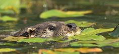 The Otter | Andrew Wakefield | Flickr