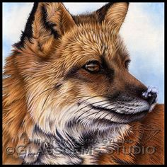 Colored Pencil Painting - Red Fox