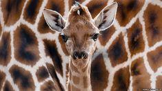 Eric the new-born Rothschild giraffe... (Eric Schreiber)