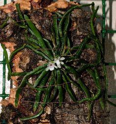 Taeniophyllum biocellatum