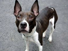 TO BE DESTROYED - 03/29/15 Manhattan Center -P  My name is MULAN. My Animal ID # is A1030620. I am a female white and chocolate am pit bull ter. The shelter thinks I am about 1 YEAR old. For more information on adopting from the NYC AC&C, or to  find a rescue to assist, please read the following: http://urgentpetsondeathrow.org/must-read/