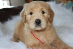 Goldendoodle F1B Male Puppy ~Adorable~