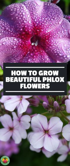 Phlox flowers are stunning flowers with shades of red, pink, purple, blue, or white. Whether you choose creeping phlox or mounding phlox varieties, it's easy to grow with the aid of our growing guide! #phlox #flowers #garden #gardening