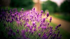 "Képtalálat a következőre: ""lavender wallpaper Aesthetic Roses, Aesthetic Videos, Lavender Flowers, Flowers Nature, Tumblr Wallpaper, Iphone Wallpaper, Video Pink, Wallpaper Iphone Disney, Funny Dating Quotes"