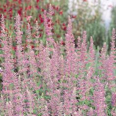 New Mexico Hummingbird Mint | Agastache neomexicana | Low Water Plants, Eco Friendly Landscapes | High Country Gardens