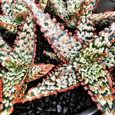 """Aloe cv Piranha Larry Weisel's """"Fish Series"""" (It is NOT a Kelly Griffin hybrid, although often mistakenly attributed to him)"""