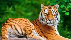 31 Best Tiger Pictures Images Bengal Tiger Cutest Animals Wild