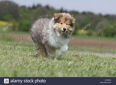 dog-rough-collie-scottish-collie-puppy-sable-white-running-in-a-meadow-D1WEG5.jpg (1300×956)
