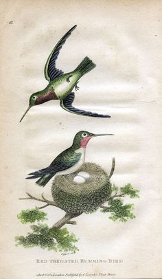 Antique Clip Art - Hummingbirds with Nest - Natural History - The Graphics Fairy
