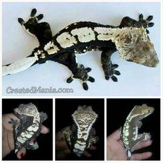 Crested Mania: black and white geckos Les Reptiles, Cute Reptiles, Reptiles And Amphibians, Reptile Habitat, Reptile Room, Gecko Terrarium, Terrariums, Crested Gecko Care, Baby Skunks