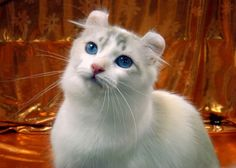 American Curl Cat, very blue eyes #CoolCatTreeHouse