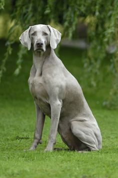 I miss my Weimaraner, he was such a good & somewhat mischievous boy. Until we meet again Brittain. RIP