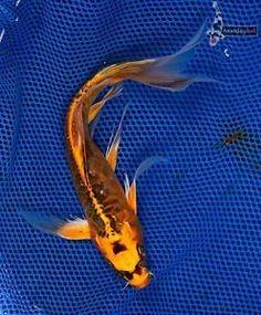 Pinterest the world s catalog of ideas for Black koi fish for sale