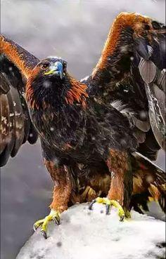Resultado de imagem para golden eagle