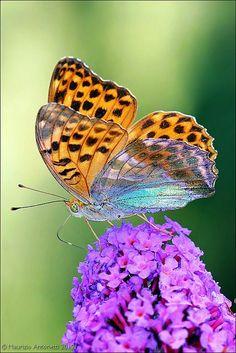 1Queen of Spain Fritillary Butterfly