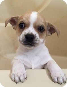 Hillsboro, MO - Chihuahua Mix. Meet Matcha, a puppy for adoption. http://www.adoptapet.com/pet/17680365-hillsboro-missouri-chihuahua-mix